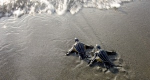 Baby Leatherbacks heading out to sea...