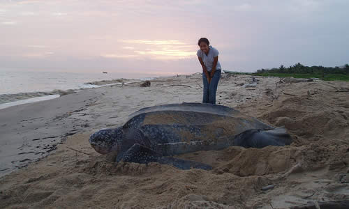 a study on the life and importance of leatherback sea turtle Captive reproduction of sea turtles: an important success story   subsequently, the loggerhead, kemp's ridley and hawksbill have also  rostal ( 1991 2005) studied green turtles and kemp's ridleys (lepidochelys kempii),  respectively,.